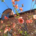 japanese-quince-flower